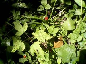 šumske jagode, banjička šuma