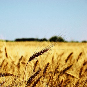 claudio-ar-wheat-fields