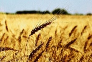 slavsko žito