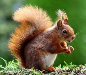 veverica poreklo značenje reči