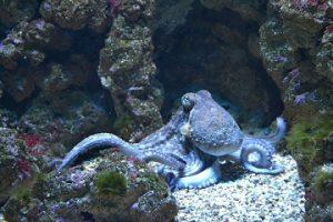 hobotnica značenje poreklo reči
