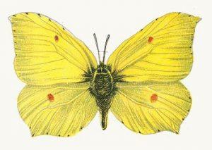 leptir-limunovac-Gonepteryx-mužjak