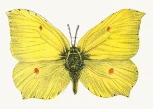 leptir limunovac Gonepteryx mužjak