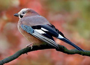 sojka ptica