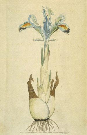 Perunika srpsko cveće i žensko ime
