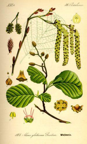 jova drvo Alnus glutinosa