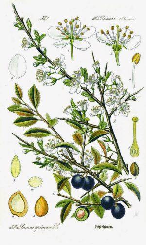 trnjina staro srpsko voće