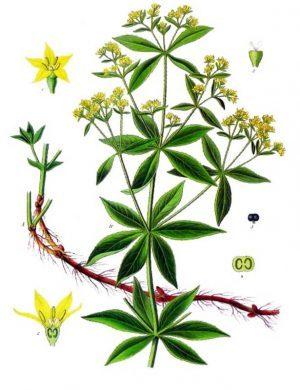broć biljka značenje-броћ