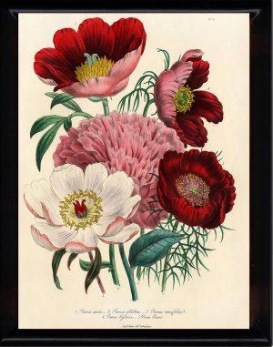 božur cvet, simbol Meseca