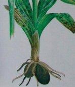 orhideja značenje grčki testisi