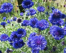 vodolija simbol cveće različak