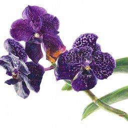 vodolija cveće orhideja_simbol