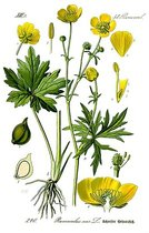 ljutić cvet biljka ranunculus