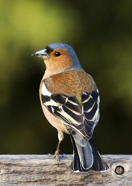 zeba ptica-Fringilla coelebs