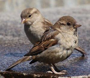 vrabac poreklo reči