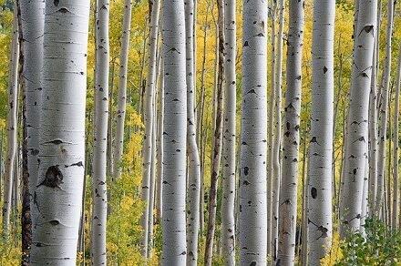 breza značenje poreklo reči